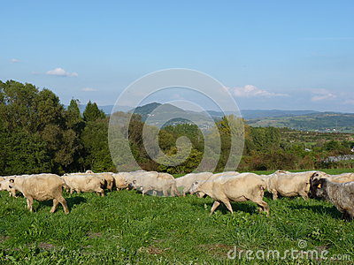 Beautiful grazing flock of sheep at sunset Stock Photo