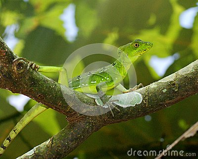 Beautiful green and blue lizard on a branch