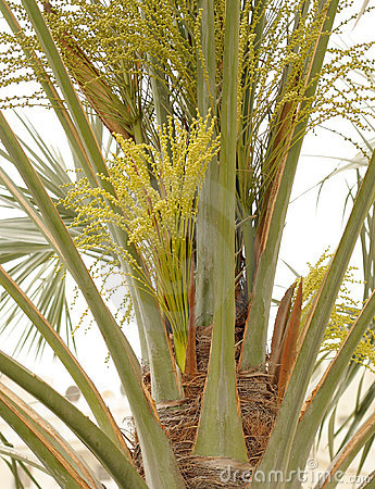 Beautiful green flowers and buds in date palm tree