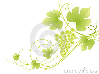 Beautiful green grape vine background. Vector Illustration