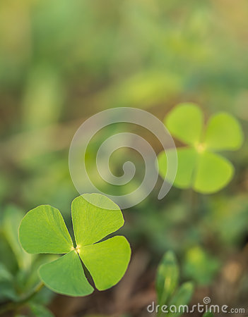 Beautiful green leaves of Water clover (Water fern, Pepperwort)