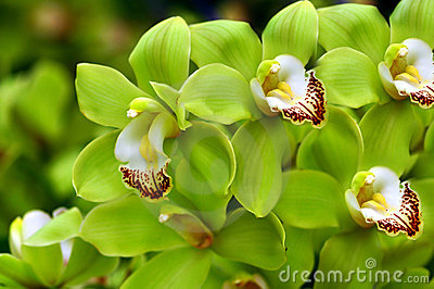 Beautiful Green Orchids