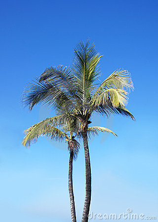A beautiful green palm tree on a sky background