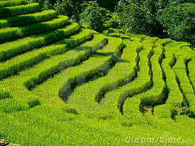 Beautiful green rice fields