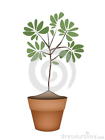 Free Beautiful Green Tree In Ceramic Flower Pots Royalty Free Stock Photo - 47396525