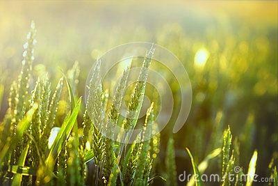 Beautiful green wheat and sunlight