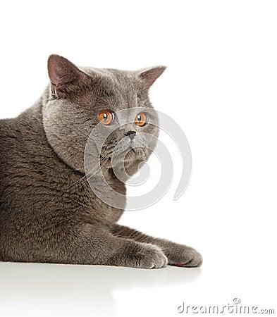 The beautiful grey cat