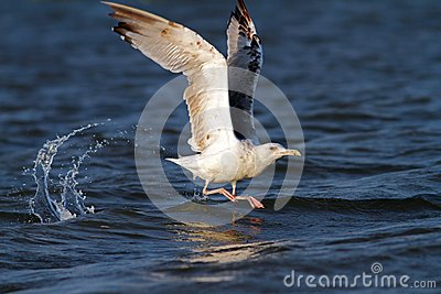 Beautiful gull taking its flight