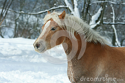 Beautiful haflinger with long mane running in snow