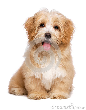 Free Beautiful Happy Reddish Havanese Puppy Dog Is Sitting Frontal Stock Photo - 46868560
