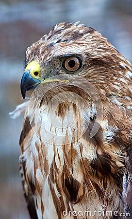 Beautiful hawk