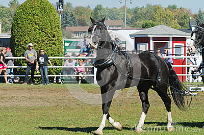 Beautiful Horse at Country Fair Editorial Image