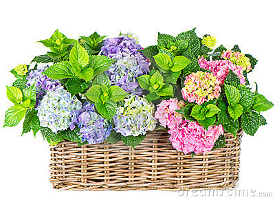 Beautiful hortensia on white. colorful hydrangea