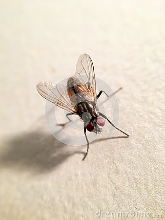 Free Beautiful House Fly Musca Domestica Royalty Free Stock Image - 104788556