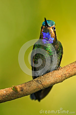Free Beautiful Hummingbird. Blue And Green Small Bird From Mountain Cloud Forest In Costa Rica. Magnificent Hummingbird, Eugenes Fulgen Stock Images - 75950934