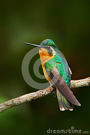 Free Beautiful Hummingbird. Orange And Green Small Bird From Mountain Cloud Forest In Costa Rica. Purple-throated Mountain-gem, Lamporn Stock Images - 75950874