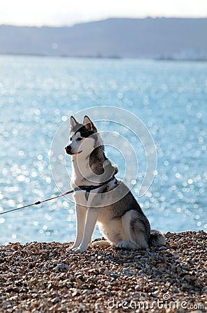 Beautiful Husky dog sitting on sunny beach