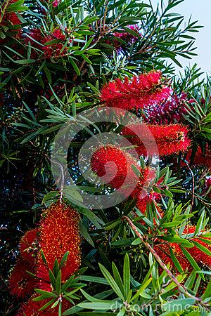 Bottlebrush Tree With Bright Red And Yellow Blooms Royalty