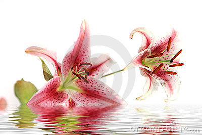 Beautiful iris - lily flower with water reflection isolated on white background