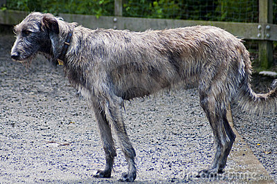 Beautiful Irish Wolfhound