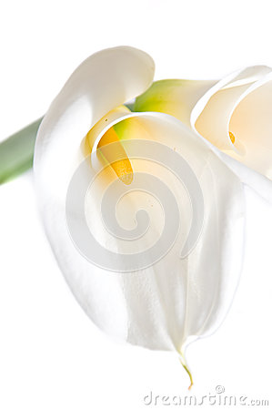 Beautiful isolated calla on white background