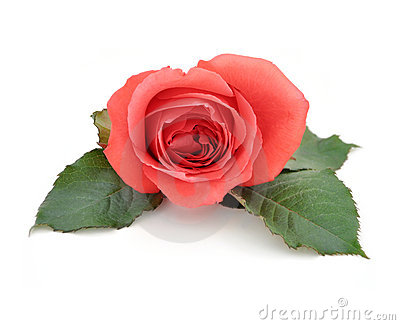 Beautiful Isolated Romantic Red Rose