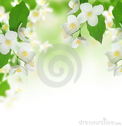 Free Beautiful Jasmine Stock Photography - 10082482