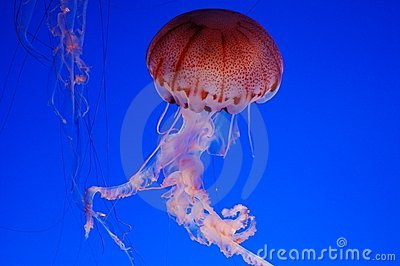Beautiful jellyfish on a blue background