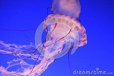 Beautiful jellyfishes