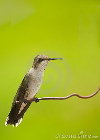 Beautiful juvenile male hummingbird sitting