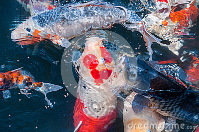 Beautiful koi fish eat food