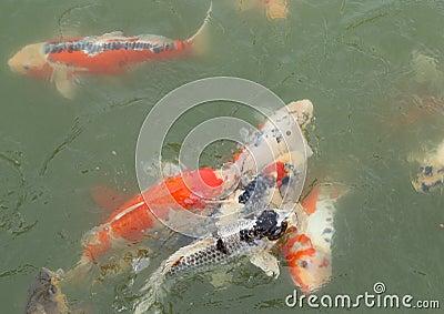 Beautiful koi fish swimming stock photo image 33429910 for Beautiful koi fish