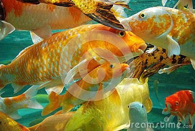 Beautiful koi in the water