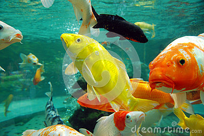 Beautiful koi in the water