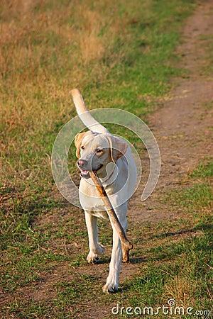 Labrador fetching a big stick