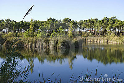 Beautiful lake in the  pine forest