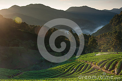 Beautiful landscape and fresh strawberries farm in winter at Chiangmai