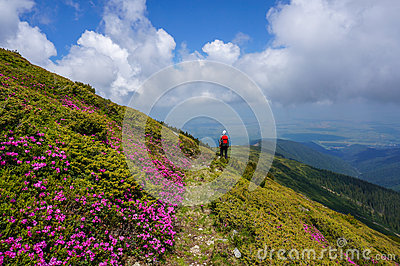Beautiful landscape with pink rhododendron flowers on the mountain, in the summer.