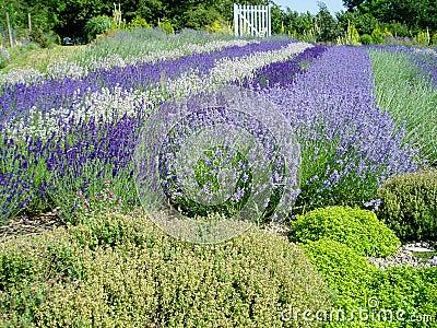 Beautiful lavender flowers in full bloom