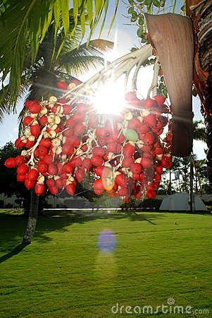 Beautiful Light Palm Tree Fruit