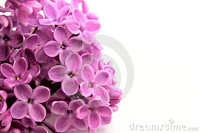 Beautiful Lilac Flower