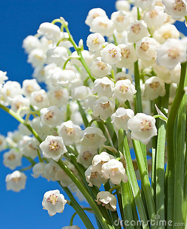 Beautiful lily-of-the-valley flowers