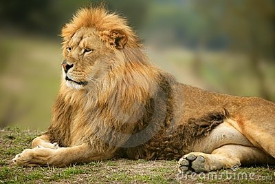 Beautiful Lion wild male animal portrait
