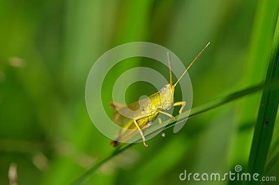 Beautiful little grasshopper