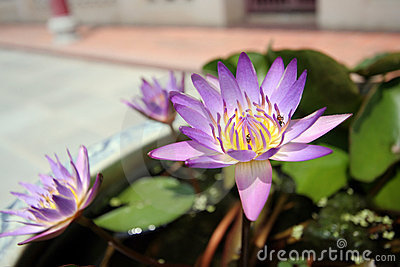 Beautiful lotus at Bangpa-in Palace