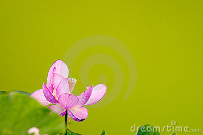 Beautiful Lotus with nice green background