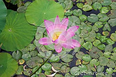 Beautiful lotus in pong
