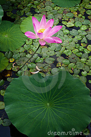 Beautiful lotus in pong