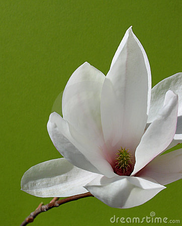 Free Beautiful Magnolia Flower Royalty Free Stock Photography - 708237