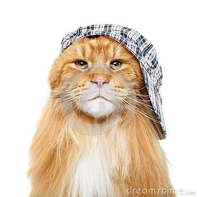 Free Beautiful Maine Coon Cat In Hat Stock Image - 109124411
